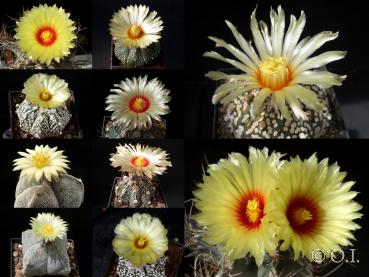 Astrophytum  mixture (seeds)