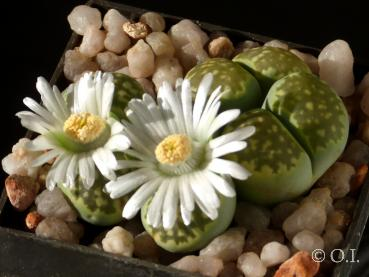 "Lithops julii var. fulleri ""Fullergreen"" (Seeds)"